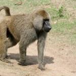 Baboon - Tanzania, Africa — Stock Photo