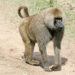 Baboon - Tanzania, Africa — Stock Photo #11655610