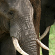 Stock Photo: Elephant. Tanzania, Africa
