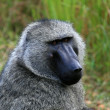 Stock Photo: Olive Baboon, Uganda, Africa