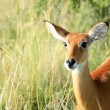 Impala Antelope, Uganda, Africa — Stock Photo