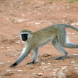 Vervet Monkey - Tarangire National Park. Tanzania, Africa — Stock Photo #11659005