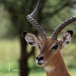 Impala - Tarangire National Park. Tanzania, Africa — Stock Photo #11659023
