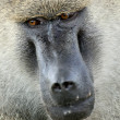 Baboon - Tanzania, Africa — Stock Photo