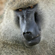 Stock Photo: Baboon - Tanzania, Africa