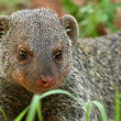 Banded Mongoose - Tanzania, Africa - Stock Photo