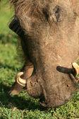 Warthog - Murchison Falls NP, Uganda, Africa — Stockfoto