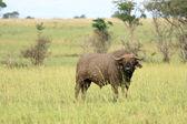 Buffalo, Uganda, Africa — Stock Photo