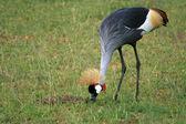 Crested, Crowned Crane, Uganda, Africa — Stock Photo