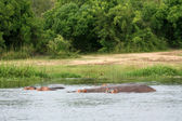 Hippo - Murchison Falls NP, Uganda, Africa — Stock Photo