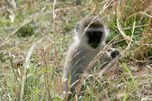 Vervet Monkey - Tarangire National Park. Tanzania, Africa — Stock Photo