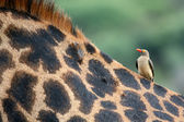 Giraffe and Oxpecker Bird - Tanzania, Africa — Stock Photo