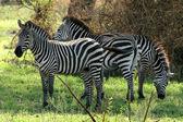 Zebra - Tarangire National Park. Tanzania, Africa — Stock Photo