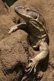 Lizard - Tanzania, Africa — Stock Photo