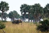 African Elephant, Uganda, Africa — Stock Photo