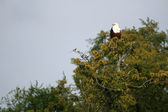 African Fish Eagle in Uganda, Africa — Stock Photo