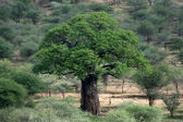 Baobab Tree - Tarangire National Park. Tanzania, Africa — Stock Photo