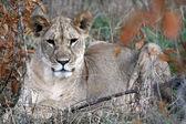 Lion - Africa — Stock Photo