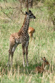 Girafe bébé - parc national de tarangire. tanzanie, afrique — Photo