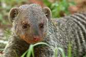 Banded Mongoose - Tanzania, Africa — Stock Photo