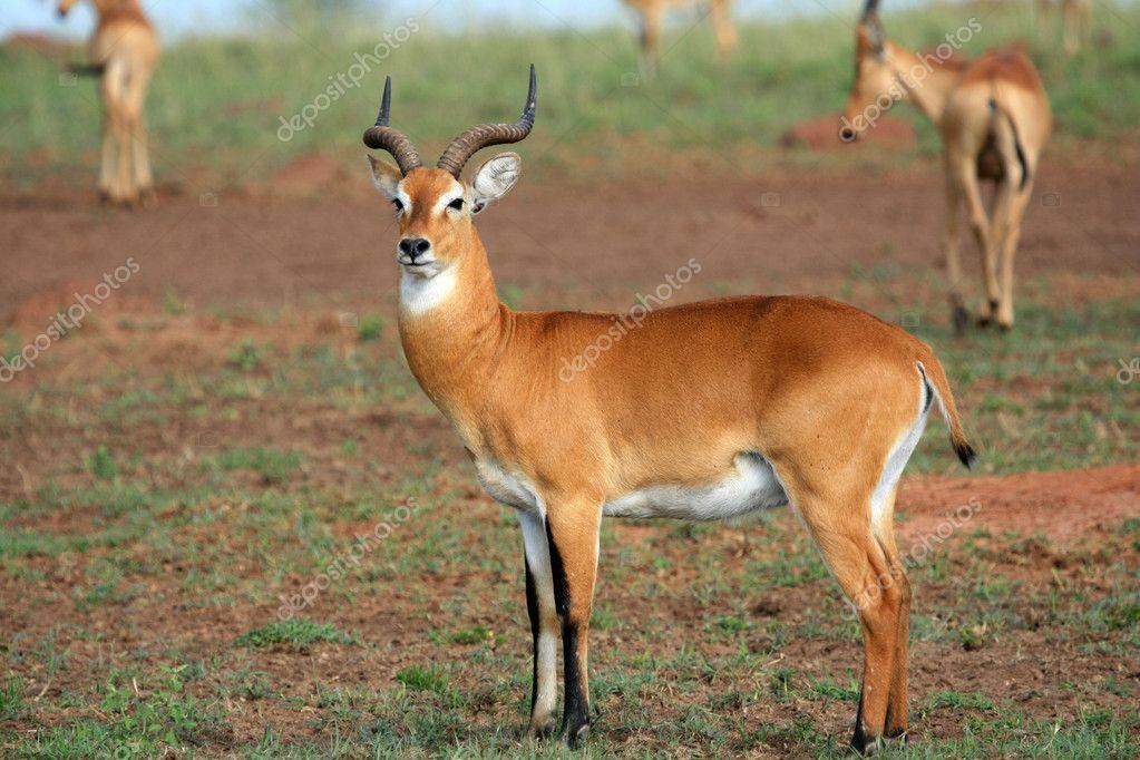impala antelope uganda africa stock photo imagex. Black Bedroom Furniture Sets. Home Design Ideas