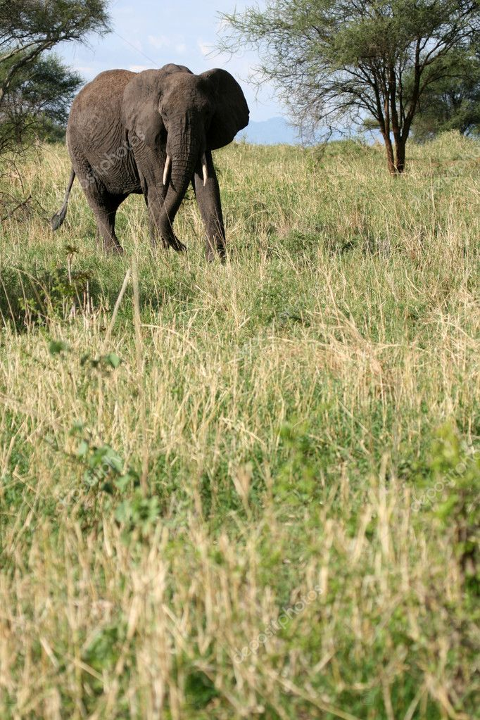 Elephant - Tarangire National Park - Wildlife Reserve in Tanzania, Africa — Stock Photo #11659043
