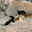 Marmot, India - 