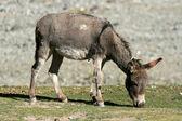 Donkey, India — Stock Photo