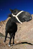 Zwarte paard, india — Stockfoto