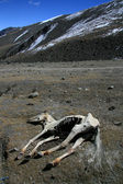 Dead Horse, India — Stock Photo