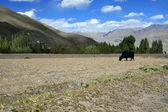 牛、水牛、牛の放牧、インド — ストック写真