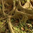 Stock Photo: Tree Roots - Eden Gardens, Kolkata, India
