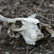 Stock Photo: Skull - Keoladeo National Park, Agra, India