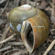 Stock Photo: Snail - Keoladeo National Park, Agra, India