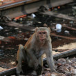 Monkey - The Indian Railway - Stock Photo