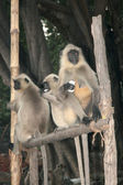 Opice - dakshineshwar chrámu Kálí, Kalkata, Indie — Stock fotografie