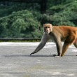 Stock Photo: Monkey - Mcleod Ganj, India