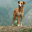 Stock Photo: Dog - Mcleod Ganj, India