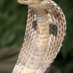 Snake Charming, India — Stock Photo #11887206