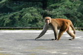 Monkey - Mcleod Ganj, India — Stock Photo