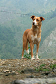 Dog - Mcleod Ganj, India — Stock Photo
