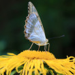 Delicate butterfly collecting pollen on yellow flower in summer time — Stock fotografie