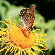 Butterfly collecting pollen on yellow flower in summer time — Stock Photo
