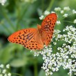 Orange butterfly collecting pollen on a white flower — Stock Photo