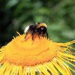 Worker bee feeding on yellow flower — Stockfoto