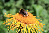 Honey bee on yellow flower in summer time — Stock Photo