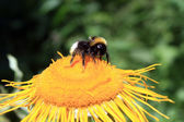 Worker bee feeding on yellow flower — Stock Photo