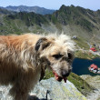 Mountain scenery with a dog at Balea lake from Romania — Stock Photo