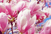 Pink Magnolia Tree — Stock Photo