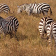Zebra Family — Stock Photo